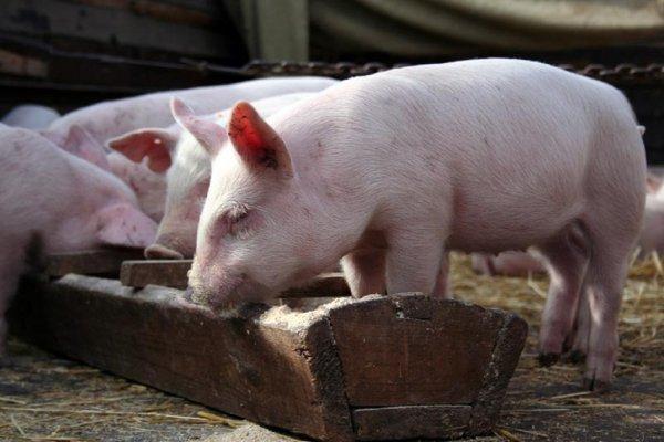 Ученые впервые пересадили свиньям «лабораторные» легкие
