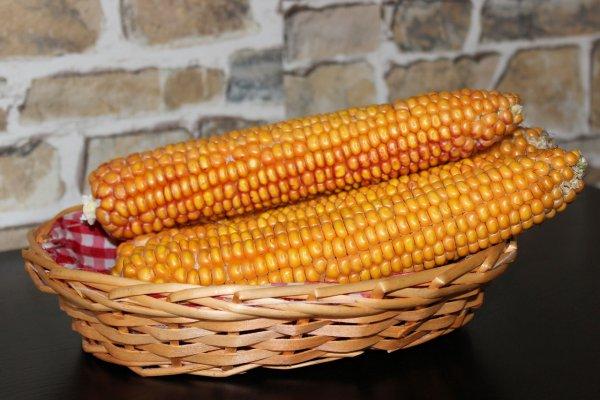 Мексиканскую кукурузу научили получать азот из бактерий
