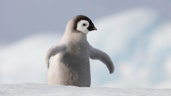 В Новосибирском зоопарке пингвины отказались выкармливать детеныша