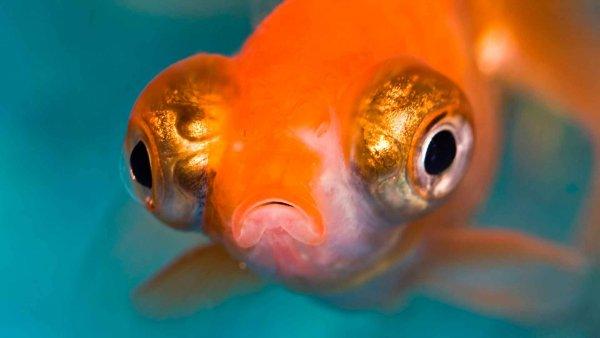 В Сызрани поймали необычную лупоглазую рыбу-мутанта