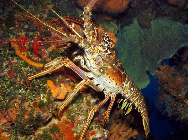 Образцовая самозащита: приземистые омары оказались не такой лёгкой добычей