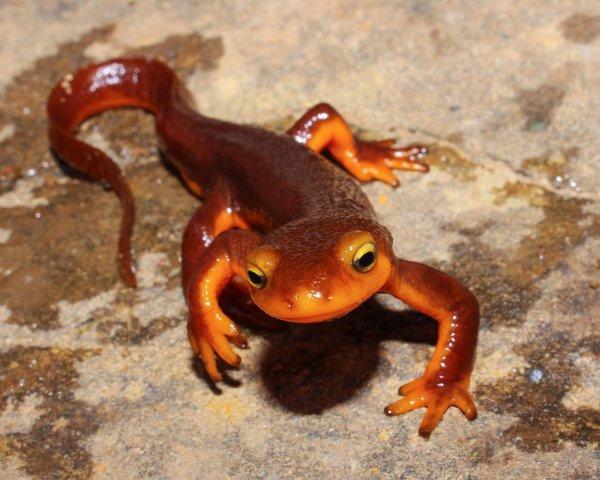 Кости скелета нового вида древней саламандры нашли петербургские ученые