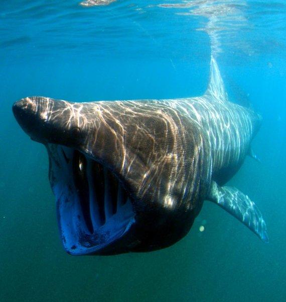 Гигантская акула своими прыжками из воды опередила большую белую