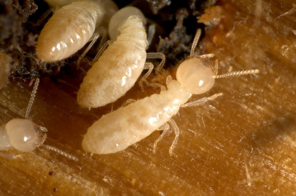 Науке стали известны насекомые, научившиеся размножаться без спаривания