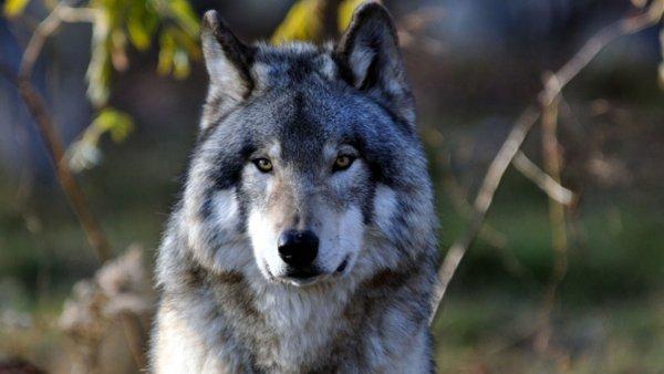 Ученые отследили волка из Чернобыльской зоны