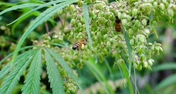 Ученые: В конце сезона пчелы собирают пыльцу с конопляных полей