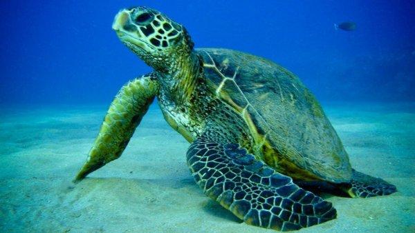 Самцы зеленых черепах станут самками из-за глобального потепления – ученые