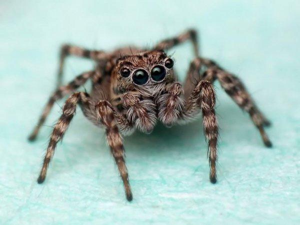 Штурмовиков из «Звездных войн» увековечили в названии нового рода пауков