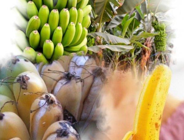 Причина банановой болезни: за 40 лет климат изменился в худшую сторону - учёные