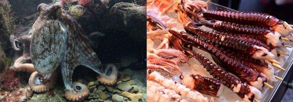 Ресторанный бизнес уничтожит «умных» осьминогов – Учёные