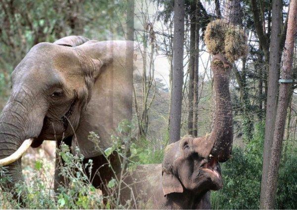 Даже люди так не могут! Слоны могут определить количество пищи с помощью обоняние