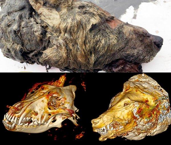 В Сибири нашли мумифицированную голову гигантского волка