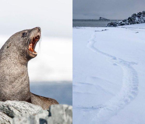 Морские котики с антеннами на головах помогли учёным раскрыть тайну Антарктиды
